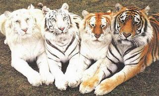 Tigres+chistosos2