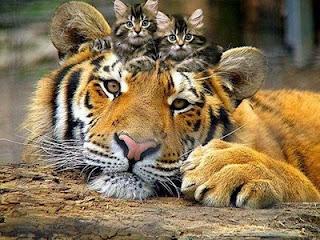 un+tigre+con+dos+gatitos3