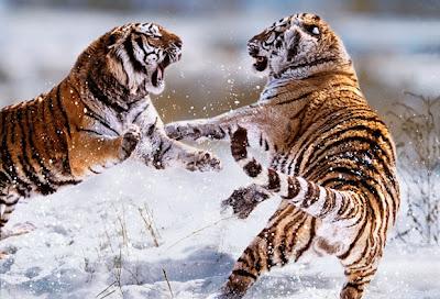 animales+salvajes+peleando+321