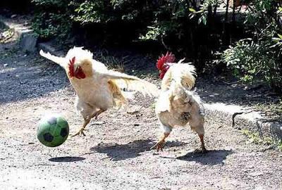 imagenes-chistosas-de-animales-gallinas-futbolistas2