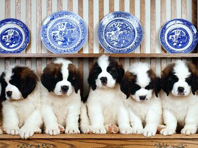 cachorros_de_san_bernardo1