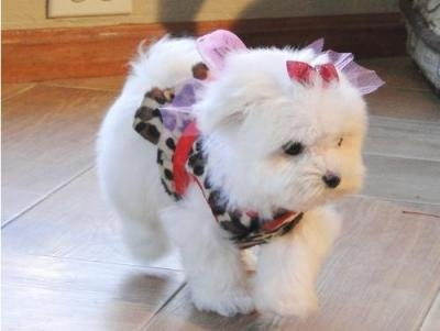 maltese+puppies+breeders+1021