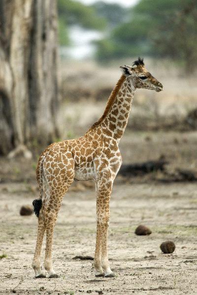 foto de jirafas