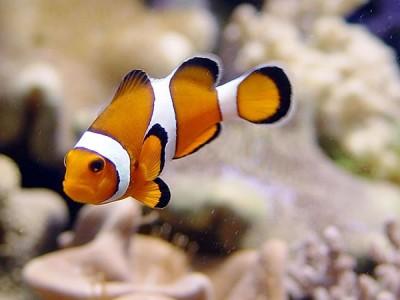 pez payaso nadando