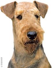airedale terrier dorado
