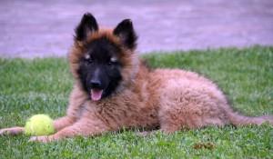 cachorro pastor belga