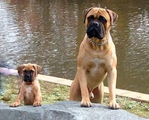 perro grande y cachorro bullmastiff