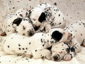cachorros dalmata