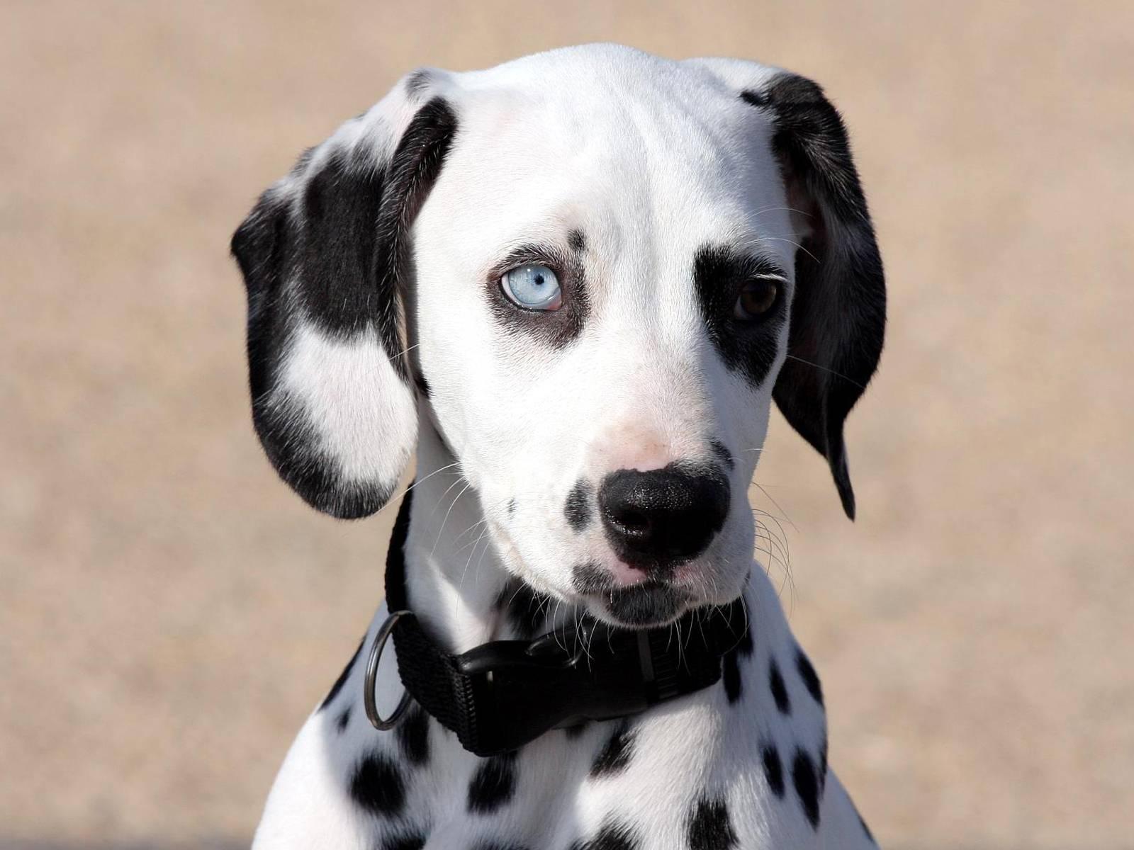 Imágenes de perros Dálmata – Descargar imágenes gratis
