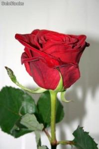 Imgenes de rosas