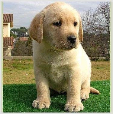 perro golden