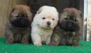 cachorros chow chow 5