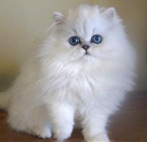 gato peludo y blanco