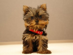 cachorro yorkshire terrier