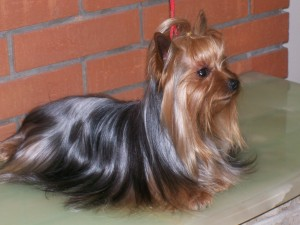 yorkshire terrier, pelaje brillante
