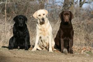 tres colores de perro labrador retreiver