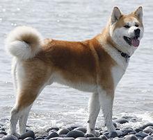 akita inu, perro