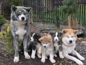 perros akita inu en diferentes colores