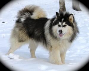 perro alaskan malamute sobre la nieve