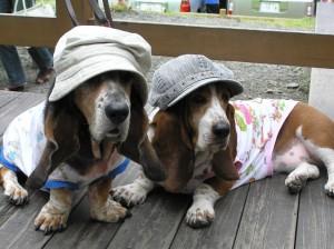 perros basset hound vestidos