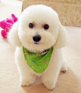 cachorro bichon frise