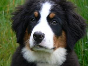 perro boyero de berna