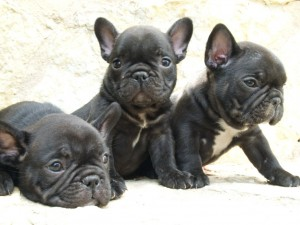 cachorros negros de bulldog frances