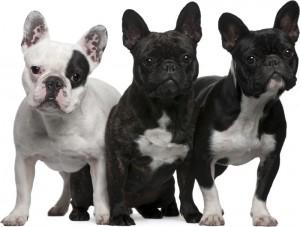perros bulldog frances