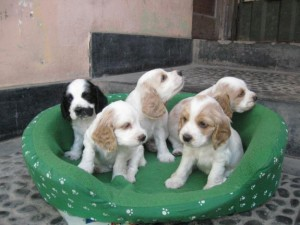 cachorros de cocker spaniel ingles