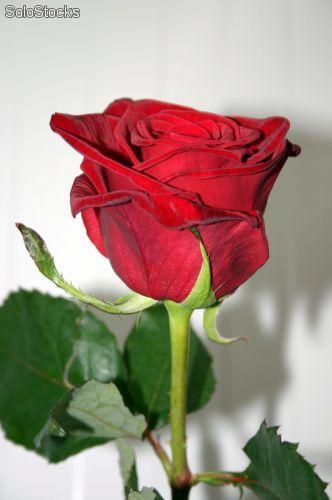 im u00e1genes de rosas naturales para dedicar  u2013 descargar